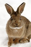 Rabbit. Close-up of a rabbit in the snow Royalty Free Stock Images