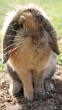 Rabbit. Photograph of a rabbit in garden Stock Images