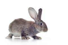 Rabbit. Grey rabbit shot against white background Stock Photo