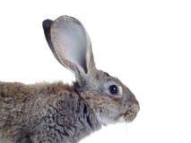 Rabbit. Grey rabbit shot against white background Stock Image