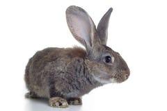 Rabbit. Grey rabbit shot against white background Stock Photography