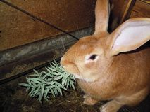 Rabbit. This red rabbit is eating herb Royalty Free Stock Photos