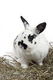 Rabbit. Spotty rabbit and hay on a white background Royalty Free Stock Photography