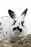 Rabbit. Spotty rabbit and hay on a white background Stock Image