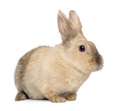 Rabbit (3 years) Royalty Free Stock Photography