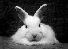 Rabbit. White fluffy rabbit stock image