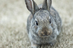 The rabbit Stock Images