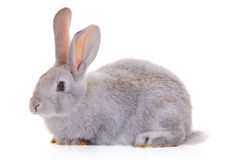 Rabbit. A rabbit against white background Royalty Free Stock Photos