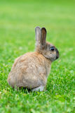 Rabbit. Photography of a rabbit in a garden Royalty Free Stock Image