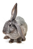 Rabbit. Grey rabbit isolated on white (shallow DOF Stock Image