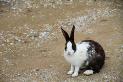 Rabbit. White and black rabbit sitting in sand stock photos