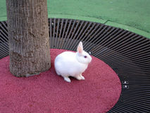 Rabbit. White rabbit inside a red circle Royalty Free Stock Photography