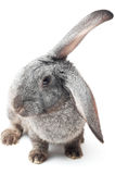 Rabbit. Portrait of rabbit isolated on white with shadow Royalty Free Stock Photography