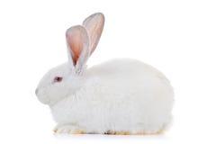 A rabbit Royalty Free Stock Photos