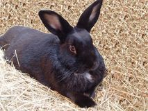 Rabbit. A black rabbit lying down in a bed of hay Royalty Free Stock Images