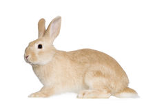 Rabbit. In front of a white background