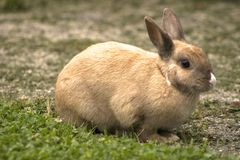 Rabbit. A beige rabbit with a white nose Stock Photo