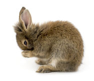 Rabbit. Small brown rabbit isolated on white