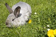 A rabbit. Rabbit eating a dandelion on the grass Royalty Free Stock Photo