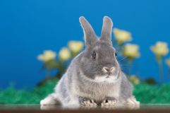 Rabbit. In front of yellow flowers Stock Photo