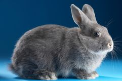 Rabbit. On blue background Stock Photography