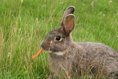 Rabbit. Brown rabbit in the grass with carrot Stock Photos