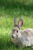 Rabbit. Outdoors in the grass, focus on eye Royalty Free Stock Images