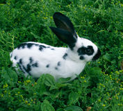 Rabbit. The rabbit black-and-white on a green grass has a rest Stock Images