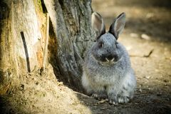 Rabbit. Cute grey rabbit on farm Royalty Free Stock Images