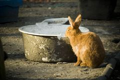 Rabbit. Cute rusty rabbit drinking water from big bowl Royalty Free Stock Photo