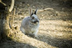 Rabbit. Cute grey rabbit on farm Stock Photo