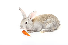 Rabbit. A young rabbit with carrot Royalty Free Stock Photography
