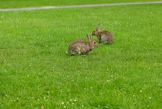 Rabbit. Adorable rabbits in green field Stock Photo