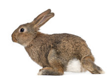Rabbit against white background Stock Images