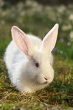 Rabbit albino Stock Photography