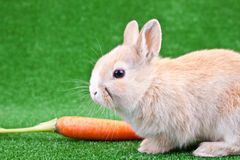 Rabbit And Carrot Royalty Free Stock Photography