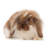 Rabbit Angora isolated on white background Stock Photo