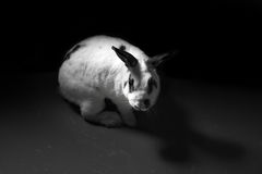 Rabbit animal abuse black and white concept Stock Photos