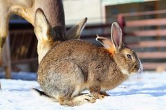 Rabbit at an animal park Royalty Free Stock Images