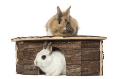 Rabbit around a shelter Stock Image