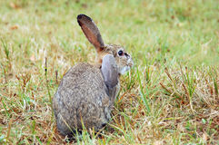 Rabbit at autumn grass Royalty Free Stock Image
