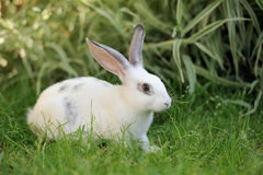 Rabbit. Baby rabbit in grass. Summer day Stock Photography