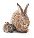 Rabbit with baby. Rabbit with baby isolated on white background royalty free stock photos