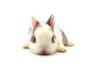 Rabbit. Baby of white and brown rabbit on white background Stock Images