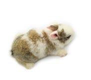 Rabbit. Baby of white&gray rabbit on white background Stock Photos
