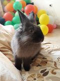 Rabbit and ballons. Rabbit with balloons Stock Photo