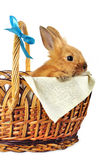 Rabbit in  basket. Red rabbit in  basket with blue bow on white background Stock Photo