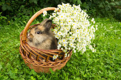 Rabbit in basket with flowers stock photography