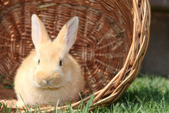 Rabbit in a basket. Rabbit in basket on grass Royalty Free Stock Photo