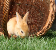 Rabbit in a basket. On a meadow Stock Photos